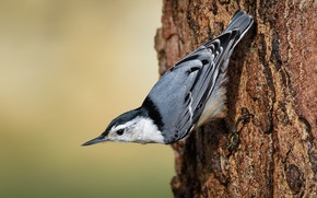 Picture tree, bird, bark, nuthatch