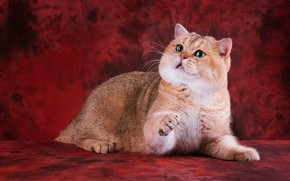 Picture cat, cat, look, face, pose, paws, lies, red background, green eyes, British, handsome, Golden chinchilla