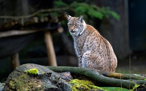 Picture look, nature, background, stump, lynx, sitting, wild cat