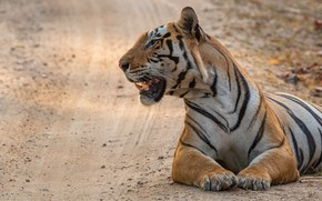 Picture road, tiger, pose, lies, profile