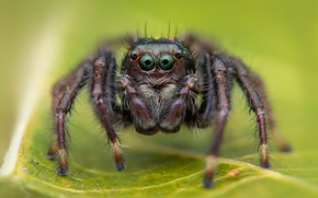 Picture macro, leaf, spider, green background, green-eyed, jumper, the Hoppy, Bouncing