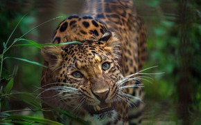 Picture greens, grass, look, face, Leopard, wild cat
