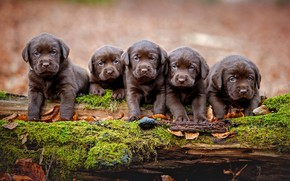 Picture autumn, dogs, leaves, nature, background, tree, moss, legs, puppies, snag, log, kids, company, Labrador, brown, …