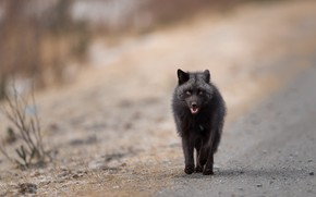 Picture road, look, face, nature, pose, background, paws, mouth, Fox, black, walk, Fox, blurred, Fox, silver
