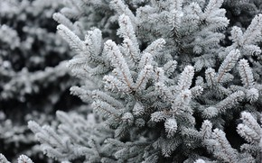 Picture winter, snow, tree, winter, snow, spruce, frost, fir tree, fir-tree branches