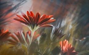 Picture petals, gerbera, flowering