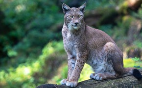 Picture look, face, nature, pose, paws, log, lynx, sitting, wild cat, blurred background