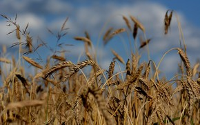 Picture wheat, field, nature, harvest, ears of ripe, уборочная страда