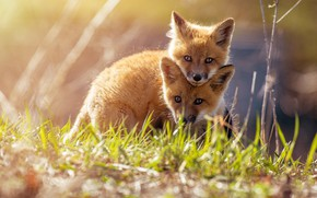 Picture grass, look, light, nature, pose, spring, Fox, kids, a couple, two, bokeh, Fox, Fox, cubs