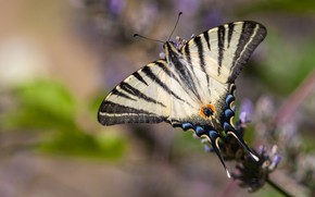 Picture macro, strips, flowers, background, pattern, butterfly, plant, black and white, insect, wings, lavender, blurred, swallowtail