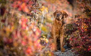 Picture autumn, look, face, leaves, light, branches, nature, pose, background, foliage, portrait, dog, paws, sitting, Labrador, …