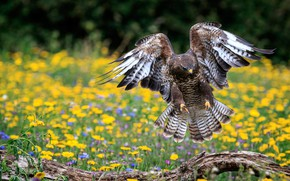 Picture summer, flowers, bird, wings, feathers, yellow, meadow, snag, Falcon, lawn, stroke, predatory, the scope