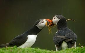 Picture birds, beak, stalled, Wales, Isle Skomer