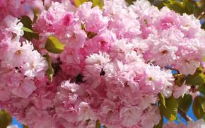 Picture flowers, nature, cherry, tree, branch, spring, garden, Cherry, sakura, Blossoms