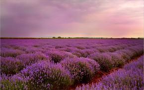 Picture Sunset, Sunset, Lavender, Lavender field