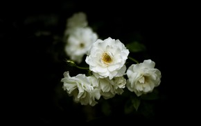 Picture flowers, roses, blur, branch, white, black background