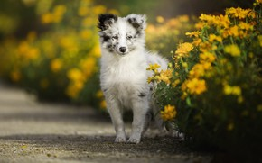 Picture white, look, face, flowers, pose, portrait, dog, yellow, garden, baby, track, puppy, beds, spotted, Australian …