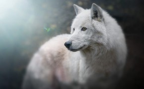 Wallpaper white, look, face, light, background, blue, wolf, portrait, handsome, bokeh, blurred, Arctic, polar