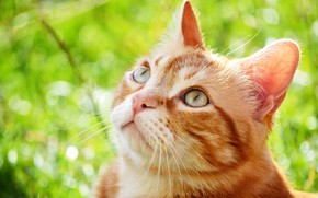 Picture cat, red, attentive