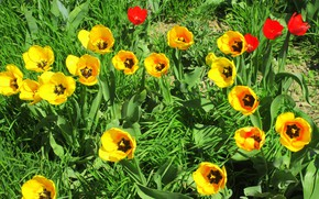 Picture tulips, flowerbed, yellow tulips, tulips are red, Meduzanol ©, summer 2018