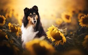 Picture sunflowers, dog, bokeh, Collie, Scottish shepherd