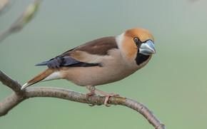 Picture bird, branch, Grosbeak