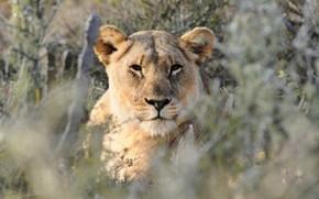 Picture grass, look, face, portrait, lioness, bokeh