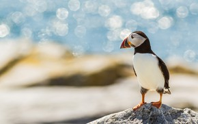 Picture sea, look, light, pose, lights, blue, bird, shore, stone, Shine, profile, stalled, bokeh, blurred background, …