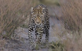 Picture grass, nature, leopard, DUELL ©