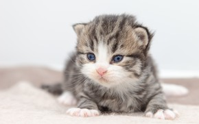 Picture cat, kitty, grey, baby, white background, kitty, striped, British