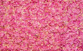 Picture pink, roses, rose oil