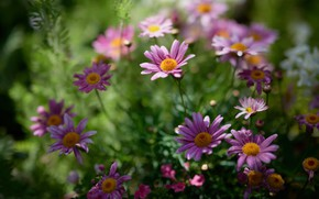 Picture summer, flowers, pink, flowerbed, bokeh, feverfew