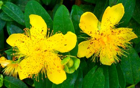 Picture flowers, stamens, yellow