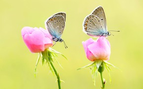 Picture macro, butterfly, flowers, insects, background, butterfly, two, roses, pair, pink, a couple, Duo, buds, roses, …