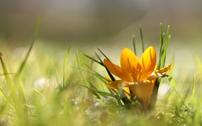 Picture grass, light, flowers, yellow, glade, one, blur, spring, petals, crocuses, Krokus, bokeh