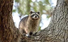 Picture trees, portrait, raccoon, face
