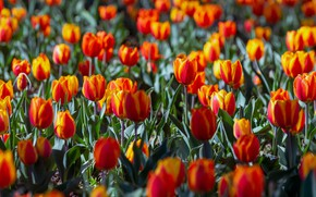 Picture light, flowers, glade, bright, spring, tulips, red, orange, flowerbed, a lot