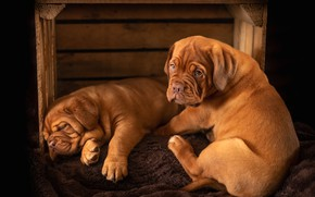 Picture dogs, look, pose, the dark background, sleep, puppies, pair, sleeping, puppy, lies, box, red, a …