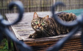 Picture cat, cat, look, the fence, bokeh