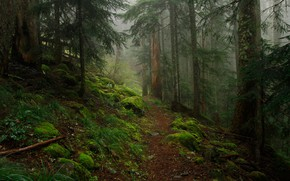 Picture forest, trees, nature, stones, moss, path