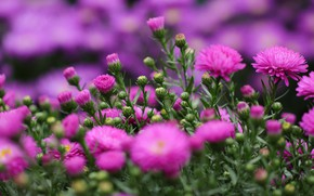 Picture summer, flowers, bright, blur, pink, flowerbed, asters