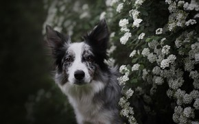Picture summer, look, face, flowers, branches, nature, the dark background, Bush, portrait, dog, garden, white, flowering, …