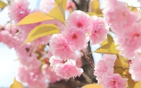 Picture leaves, macro, light, flowers, branches, spring, Sakura, gentle, pink, flowering, bokeh, in bloom, lush