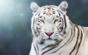 Wallpaper white, look, face, light, tiger, background, blue, portrait, handsome, bokeh, blurred, blue-eyed