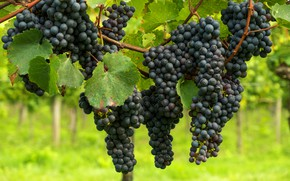 Picture leaves, blue, black, fruit, grapes, vineyard, bunches, hang