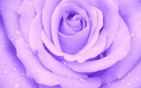 Picture drops, macro, rose, Bud, water