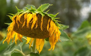 Picture summer, nature, sunflower