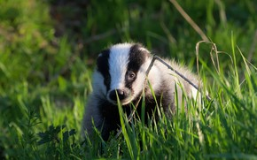 Picture greens, grass, nature, background, beast, striped, forest, badger
