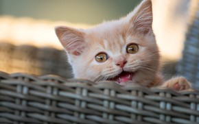 Picture cat, kitty, red, mouth, face, basket, bokeh, meows