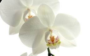 Picture macro, petals, Orchid